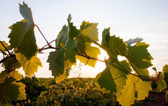 Vendimia hojas parra