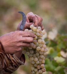 Vendimia hoceta ramo uvas