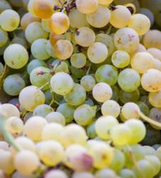 Vendimia uvas