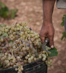Vendimia cubo uvas hoceta