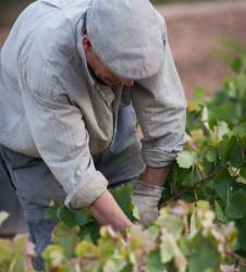 Vendimia buscando uvas