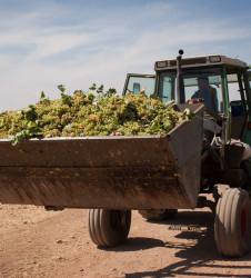 Vendimia uvas tractor