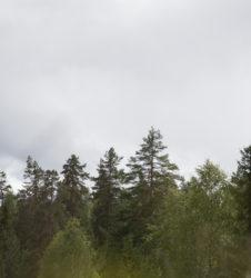Bosque pinos copas