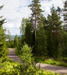Bosque pinos camino lago