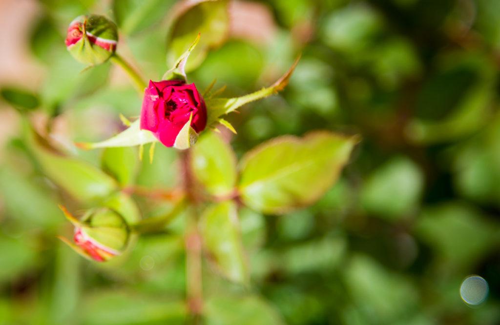 rosas terraza